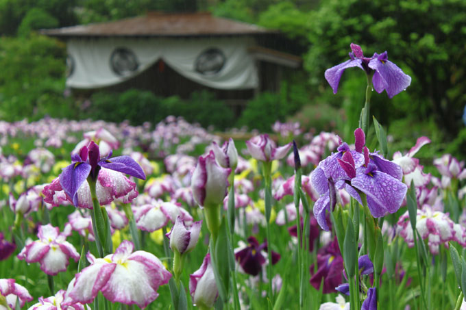 大安禅寺花菖蒲祭
