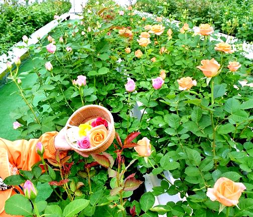 バラの花摘み体験