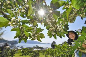 強い日差しが照り付ける中、甘い香りを漂わせながら咲くミカンの花 敦賀市大比田で