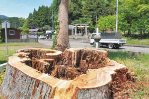 伐採した大杉の切り株。ここから若木(奥)が分岐している