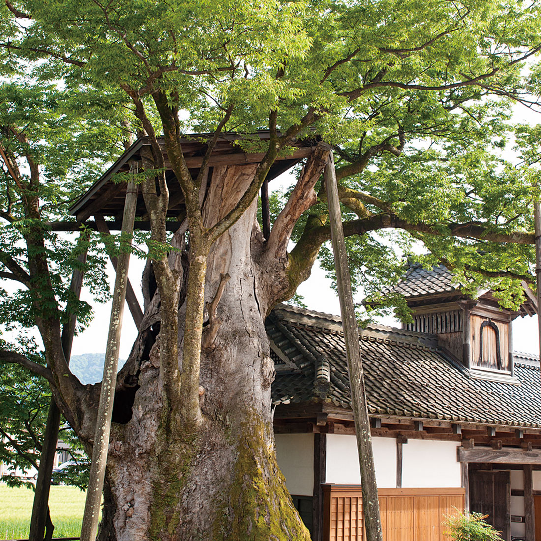 専福寺の大ケヤキ