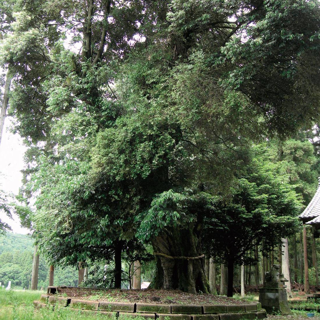 神明神社のスダジイ