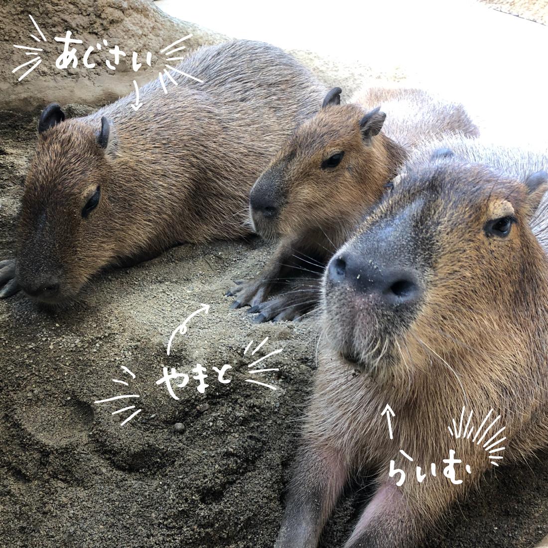 足羽山公園遊園地の仲良しカピバラ