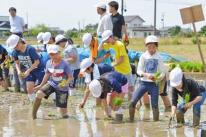 泥だらけになって田植えを楽しむ児童たち=坂井市坂井町下兵庫で