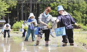水田に山田錦の苗を植える酒造りプロジェクトの参加者 いずれも南越前町で