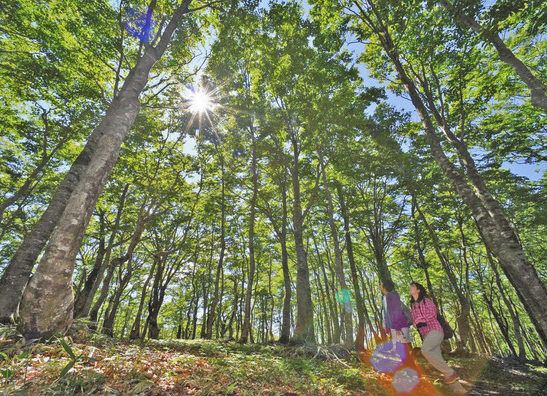 【地域】大野 新緑の輝き増すブナ林