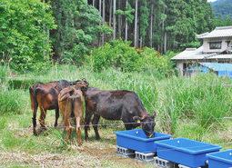【地域】耕作放棄地に牛放牧 小浜市モデル事業 草刈り手間省く
