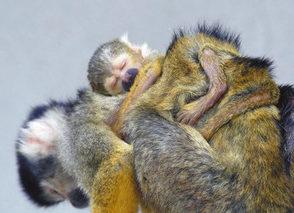 【地域】母亡き子 懸命に育てる 西山動物園リスザル 別の雌親代わりに