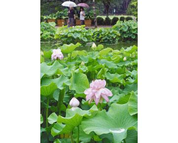 雨にぬれ、鮮やかさを増した花ハス=南越前町中小屋の花はす公園で