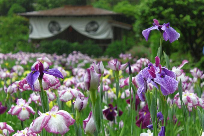 花菖蒲祭り