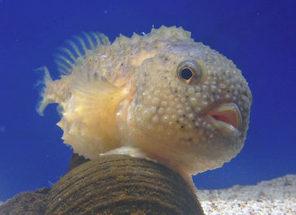 へんないきもの全国3位に 越前松島水族館のコンペイトウ