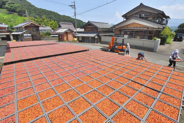 好天の下、じゅうたんのように一面にびっしりと並べられ干される梅=29日、若狭町の西田梅加工場で