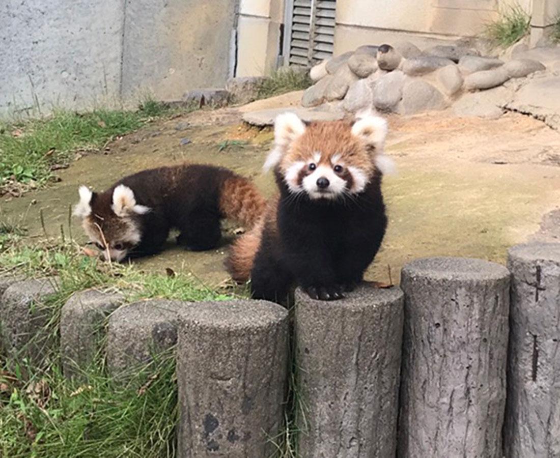 鯖江のかわいいニューフェイス! レッサーパンダの双子の赤ちゃん