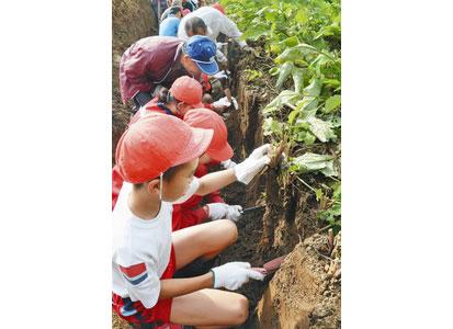 川島ごぼうを丁寧に 鯖江・北中山小児童が収穫