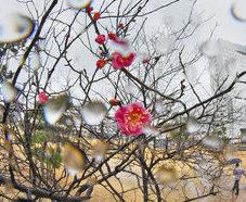 暖かい大寒、梅も開花 福井
