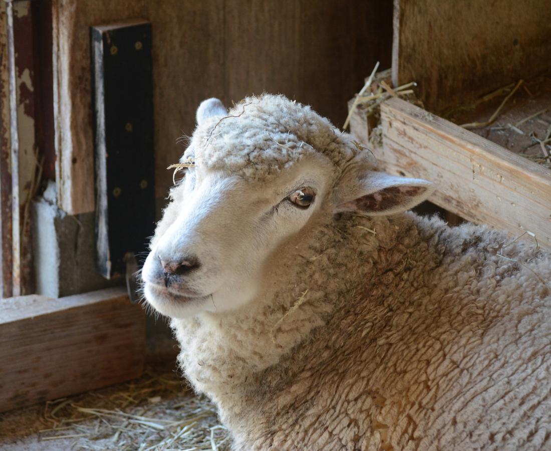【1/19】モコちゃんのもこもこな羊毛でマスコットづくり|足羽山公園遊園地