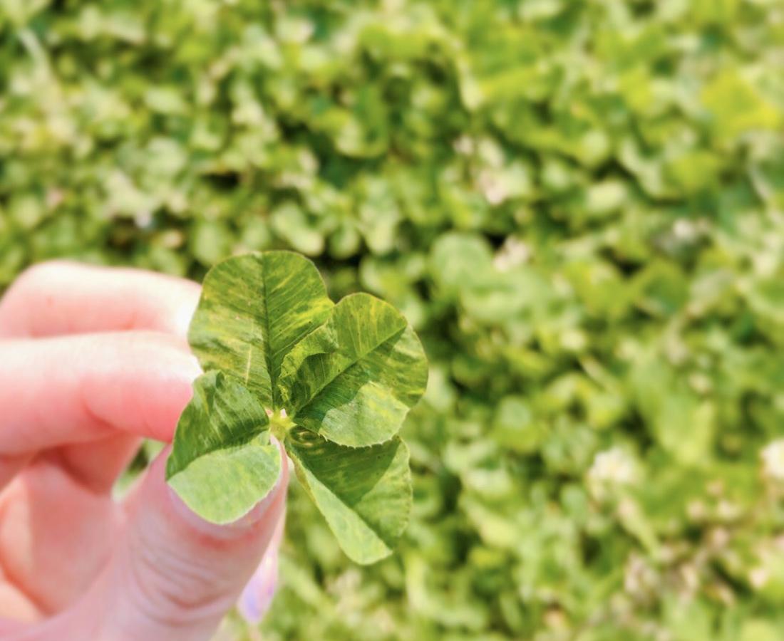 スーパーの帰りに四つ葉のクローバーを発見!意外と近くに小さな幸せは落ちてるものですね。