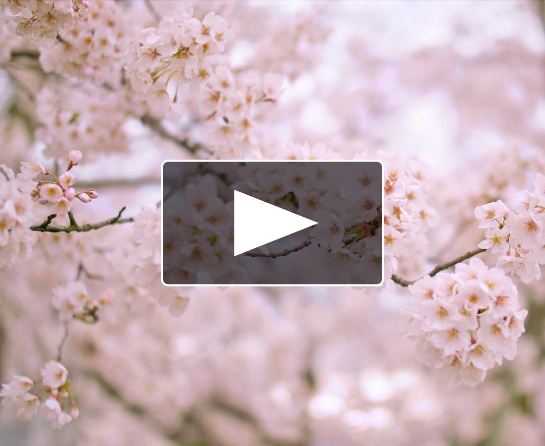 コロナに負けるな! 新シリーズ『おうちで○○気分』動画 ~足羽川河川敷・サクラ満開篇~