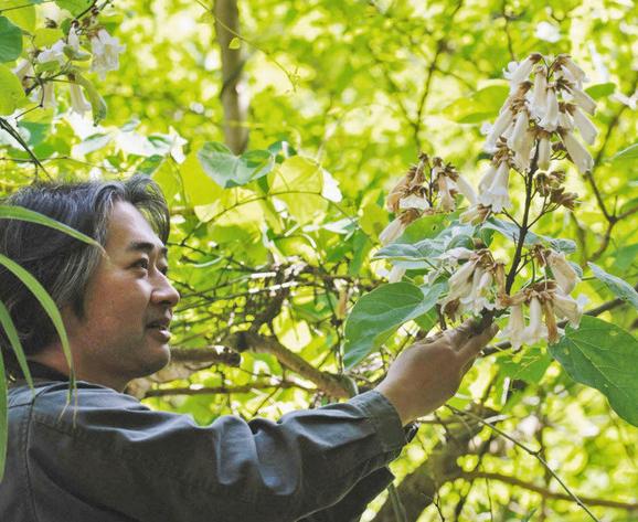 越前町でシロバナノキリの花咲く 学芸員見つける、突然変異か