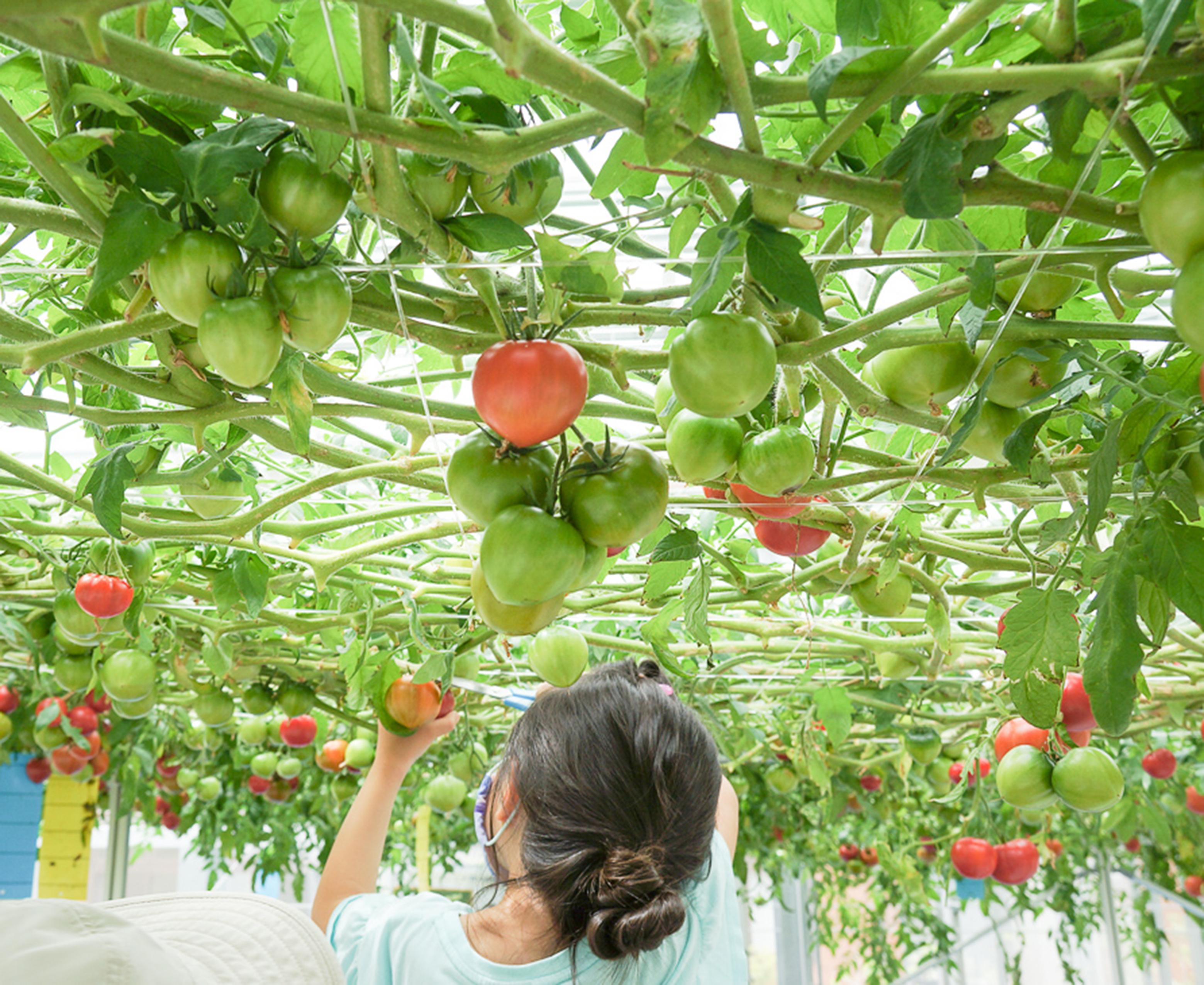 """【7/4~12】天井一面のトマトに驚き! 珍しい""""ギガトマト""""の収穫体験をしよう♪"""