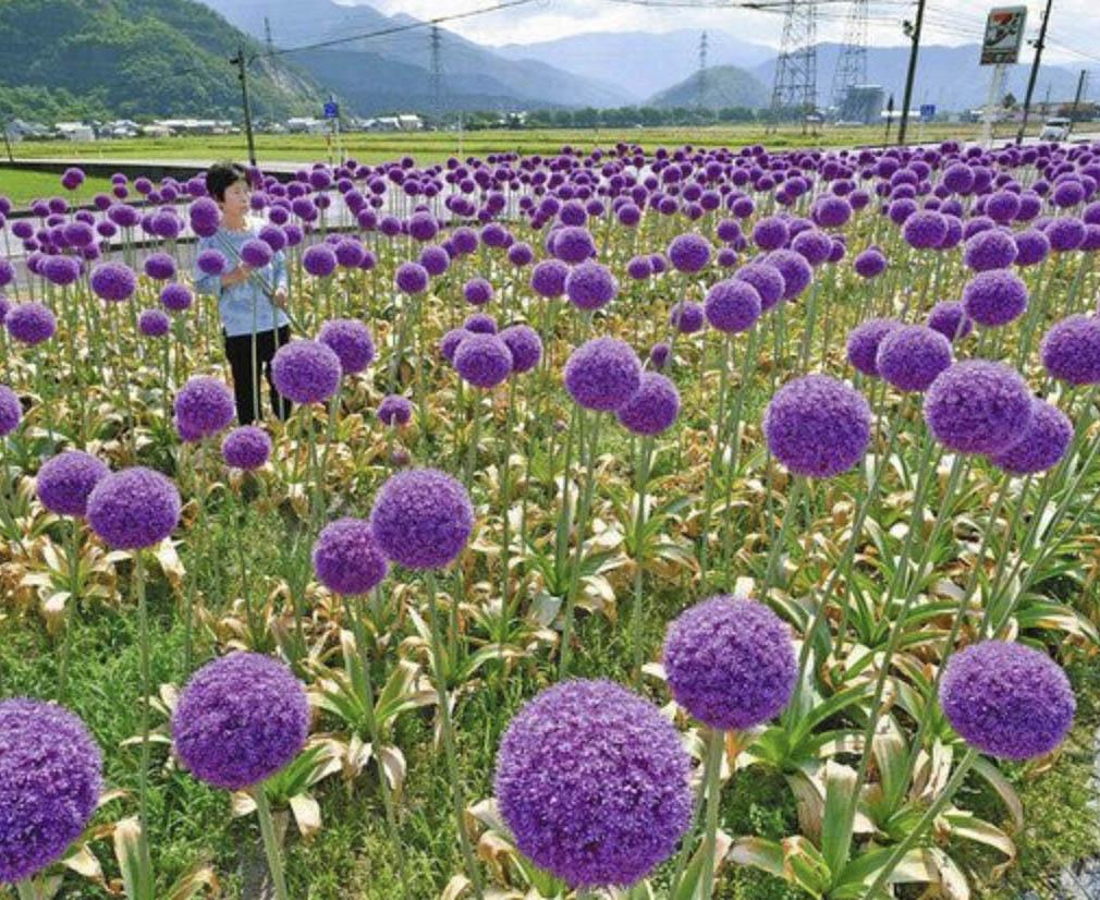 """紫の""""ポンポン""""南越前で風に揺れる"""