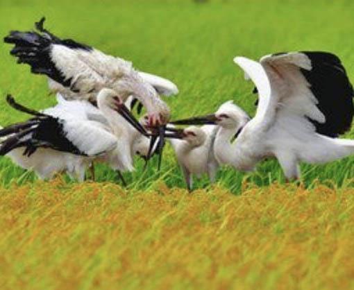 「亡き親」と子パチリ  県内で自然繁殖のコウノトリ