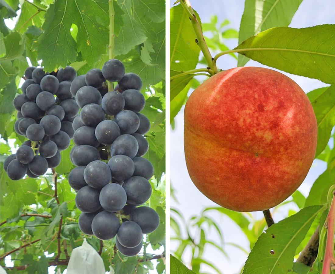 【8/1】今が旬! 甘くて濃厚! 『三里浜』のモモとブドウ販売会│さんりはまFRUIT PR販売会