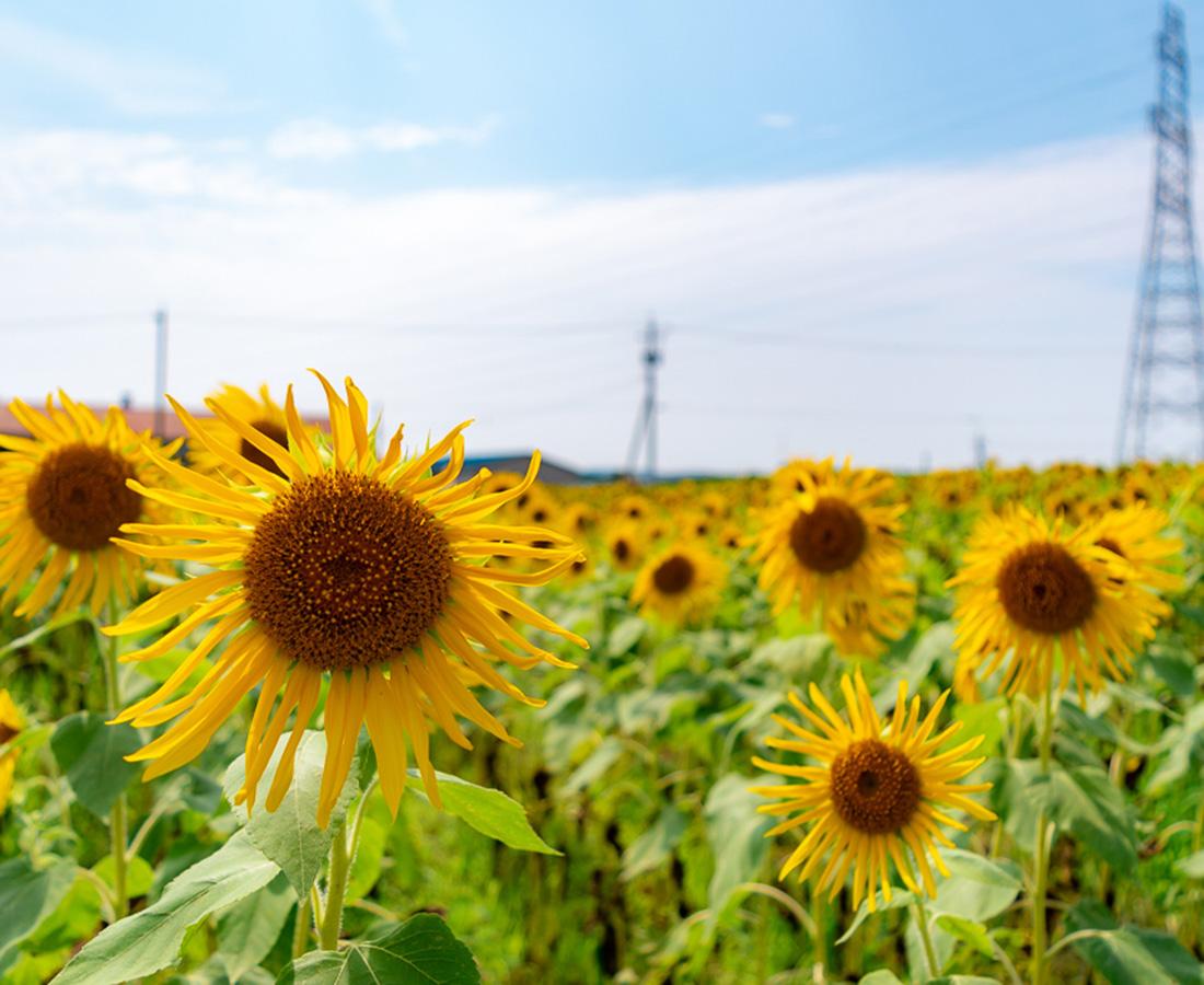 福井のヒマワリ畑に行ってきた♪ 黄色の絨毯と青空のコントラストを楽しもう!