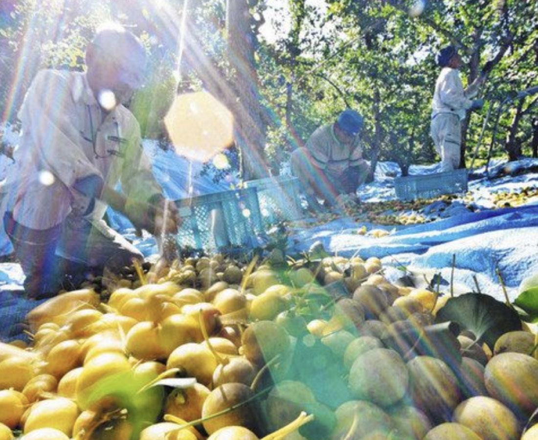 ギンナンどっさり 永平寺町で収穫ピーク