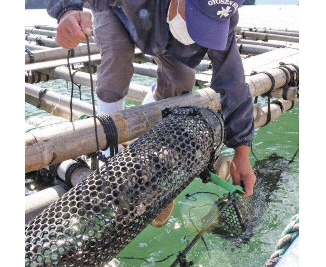 収穫や出荷を省力化 小浜の仏谷漁港沖 カキ養殖新手法に挑戦