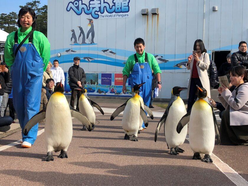 オウサマペンギンのお散歩