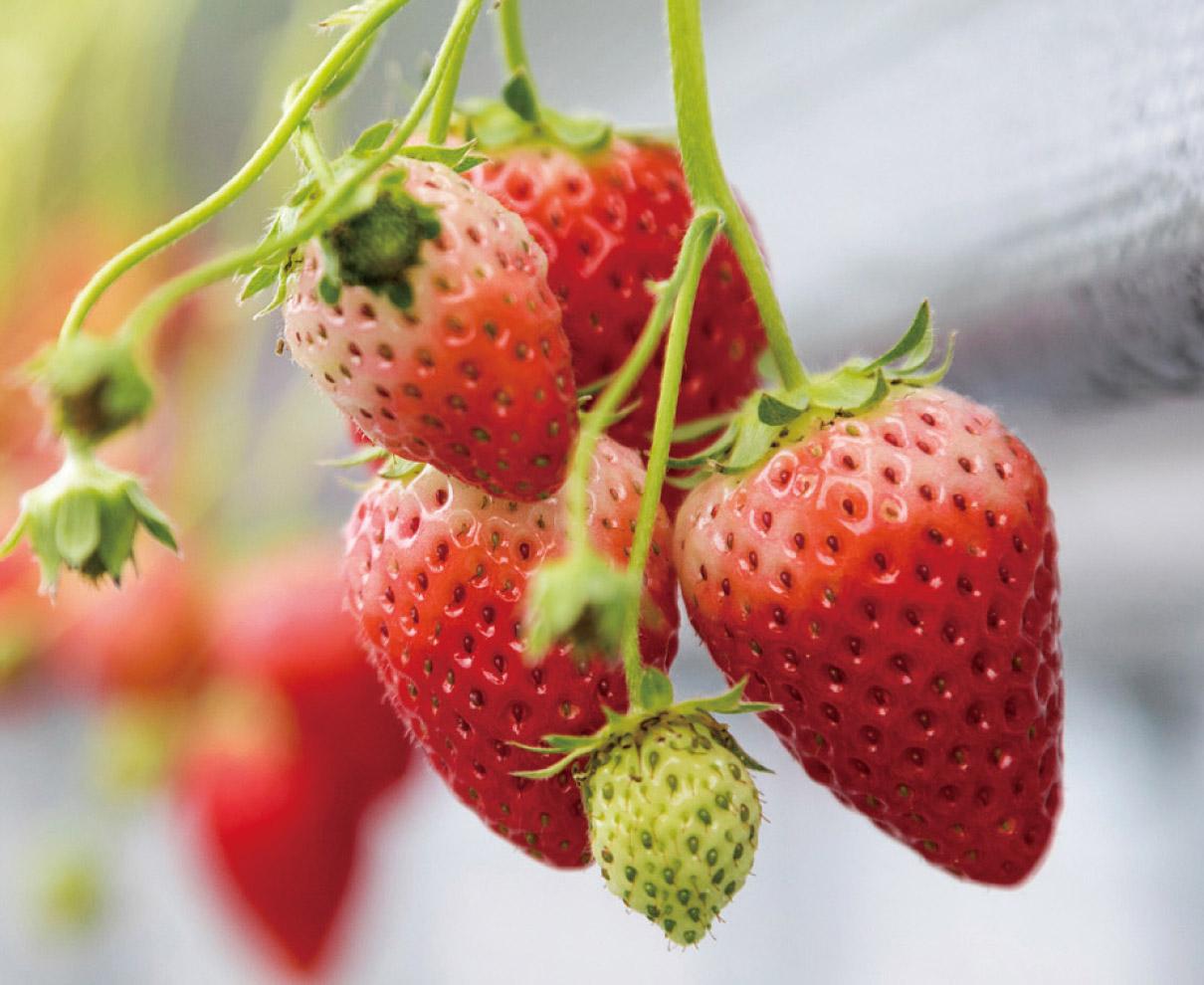 こだわりの土で育てた 甘く香り高いイチゴを摘みたてで!|Noraいちご園