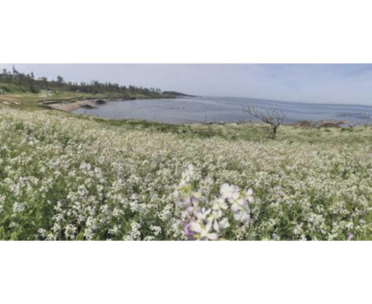 愛らしい花、海岸彩る 三国でハマダイコン