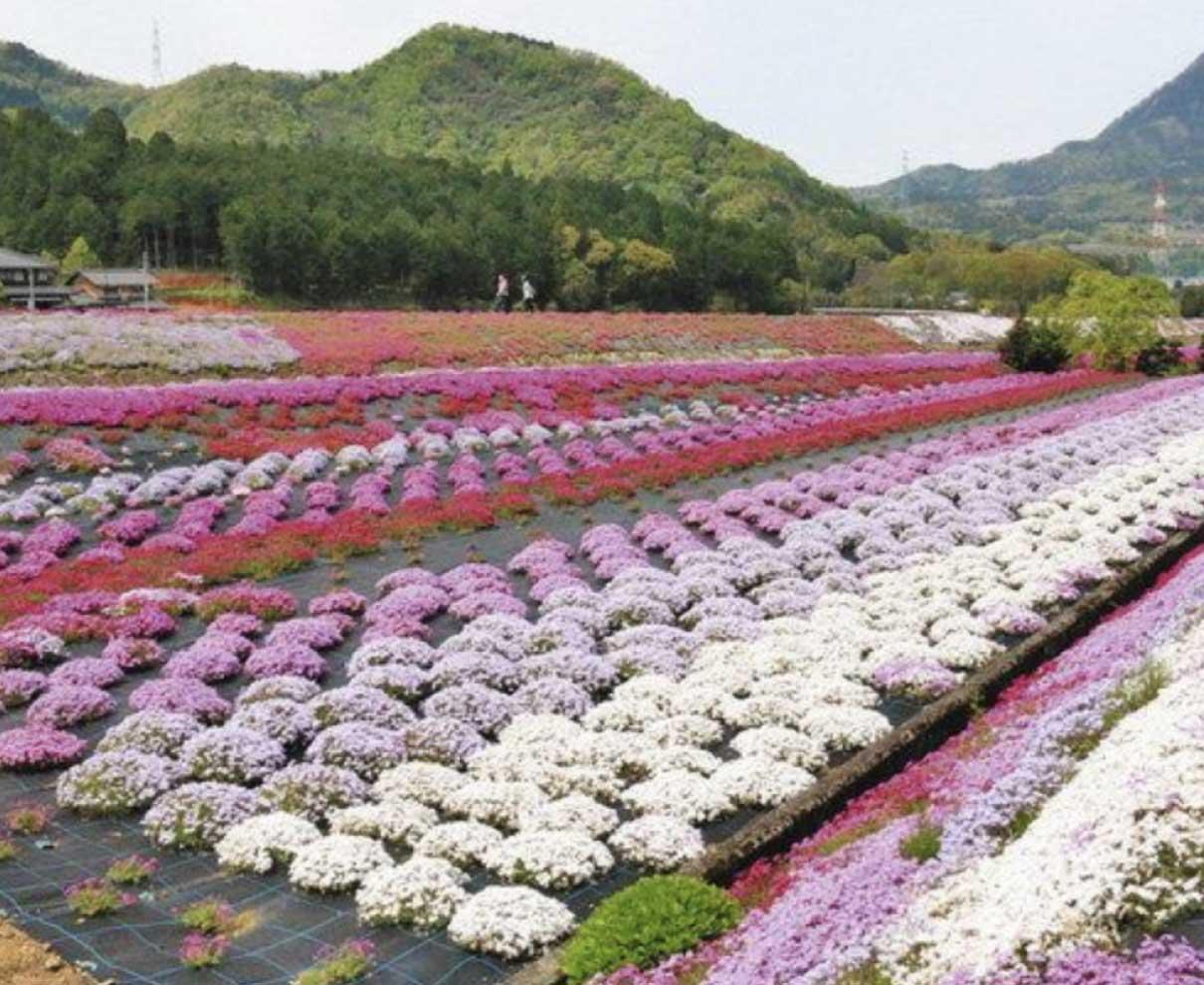 春の嶺南 各地で花盛り