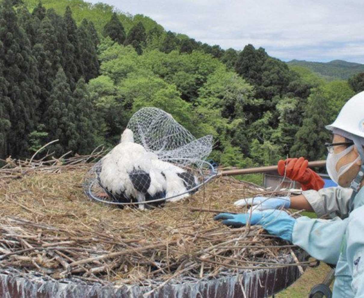 コウノトリひなに足環 越前市 1羽けが 治療へ保護