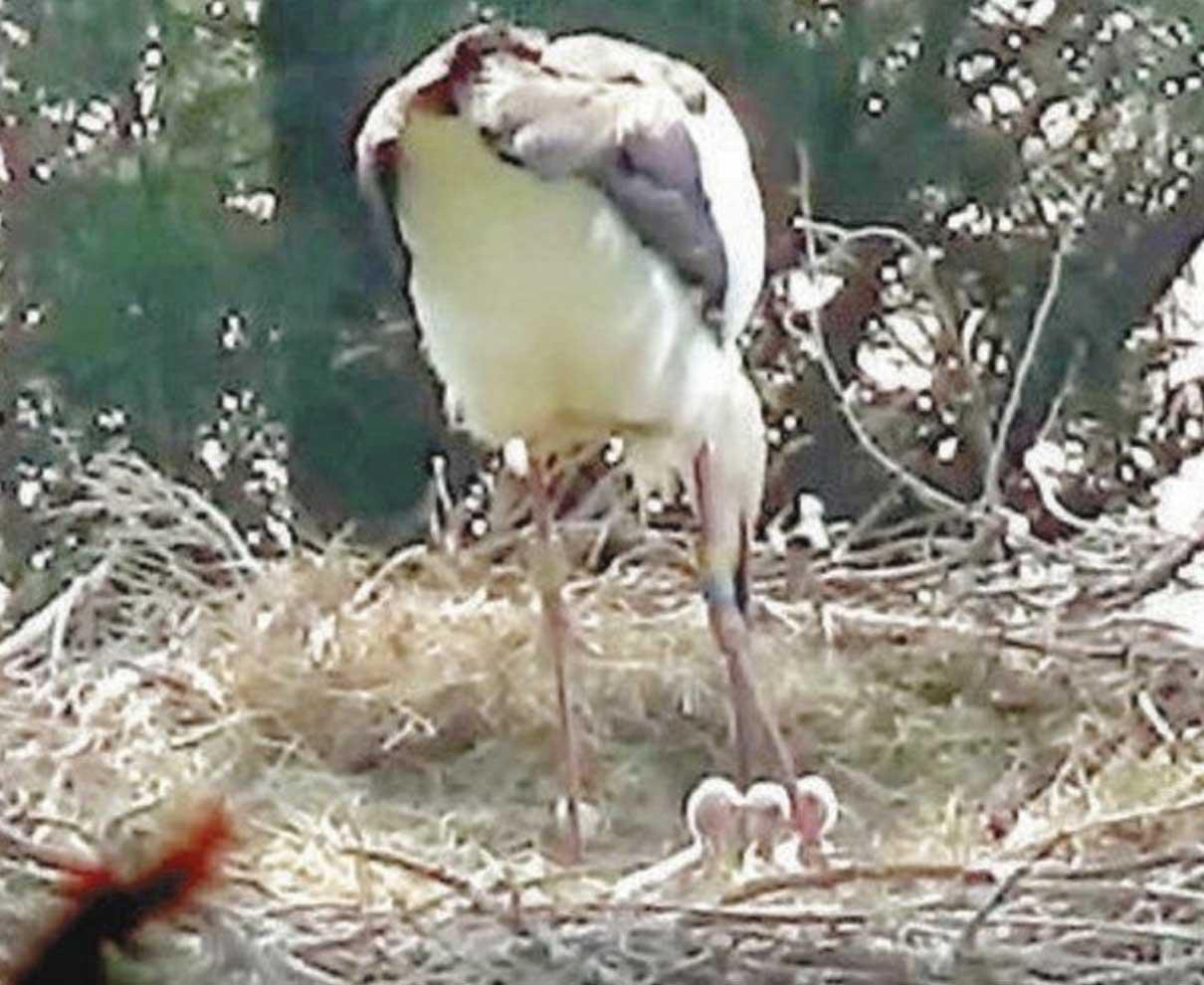 小浜でコウノトリひな誕生 57年ぶり、3羽ふ化