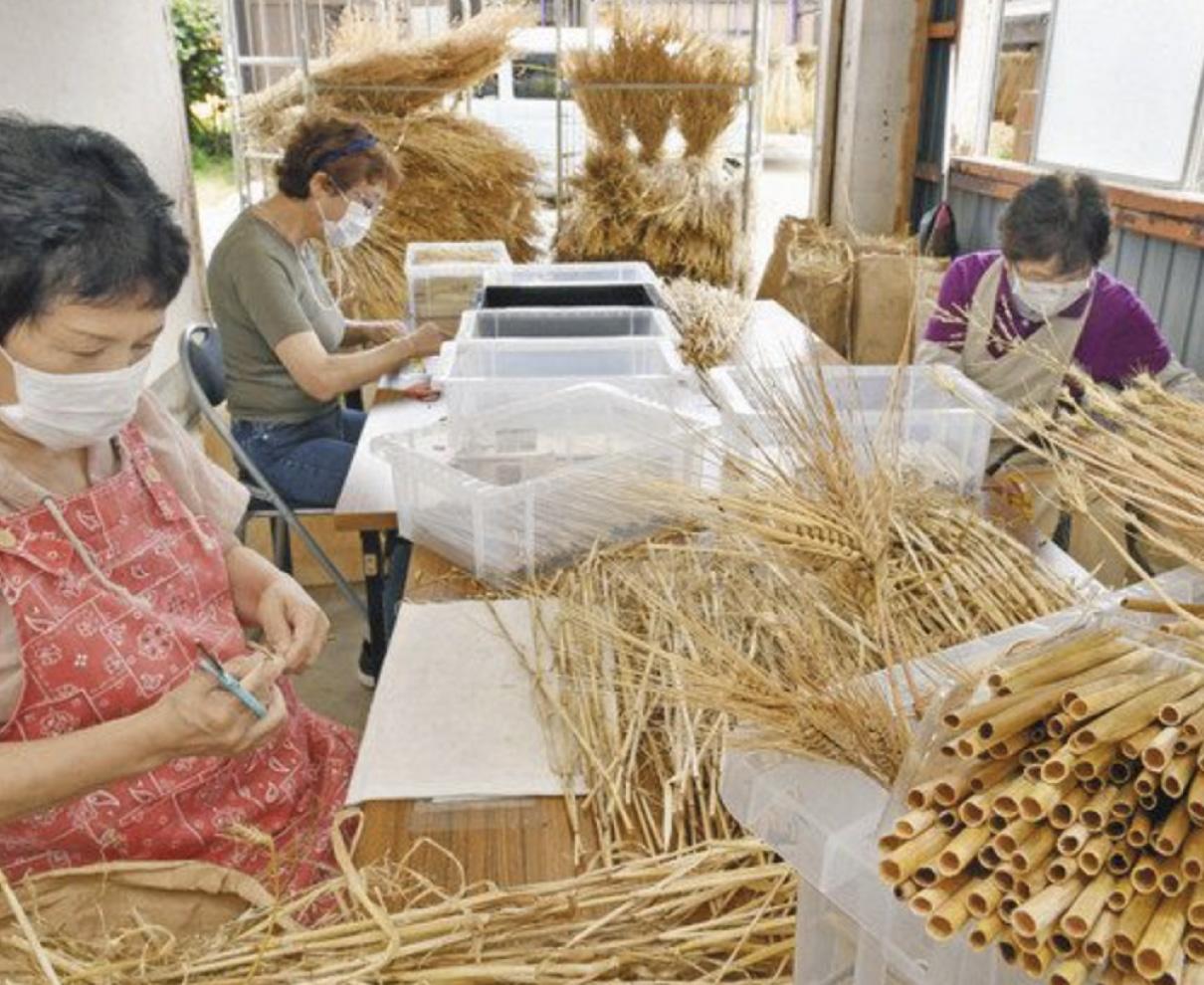 六条大麦 ストローに変身 福井で生産最盛期