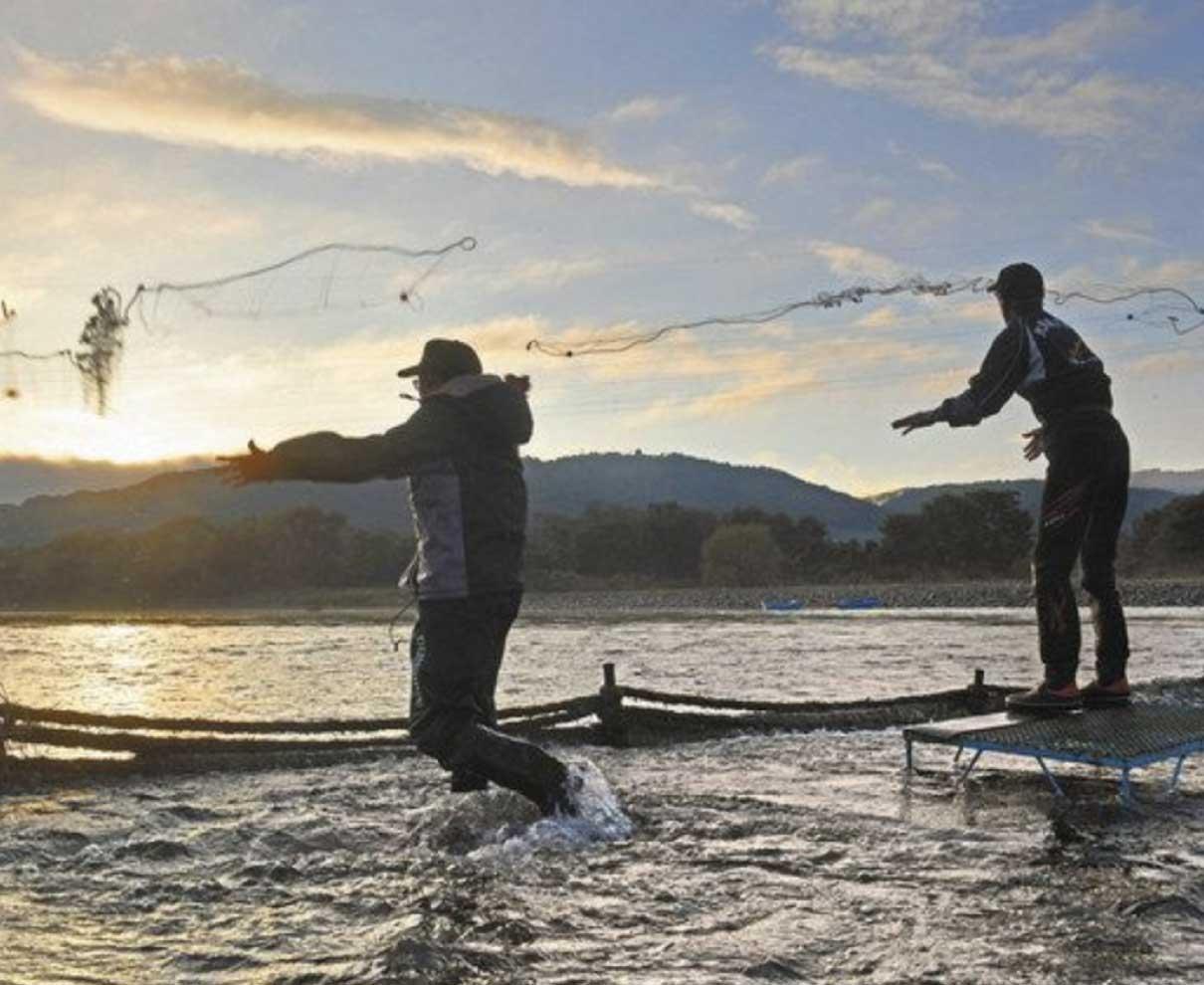 昔ながらの威縄漁最盛期 九頭竜川