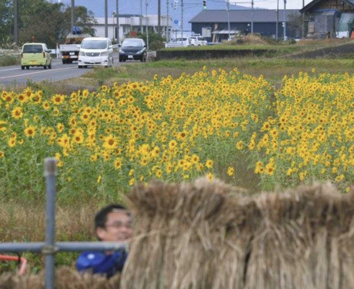 秋風に揺れるヒマワリ 永平寺町の県道沿い